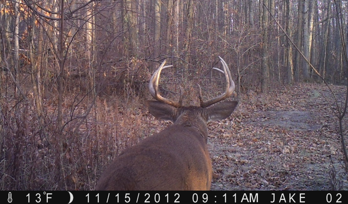 Buck using travel corridor in rut